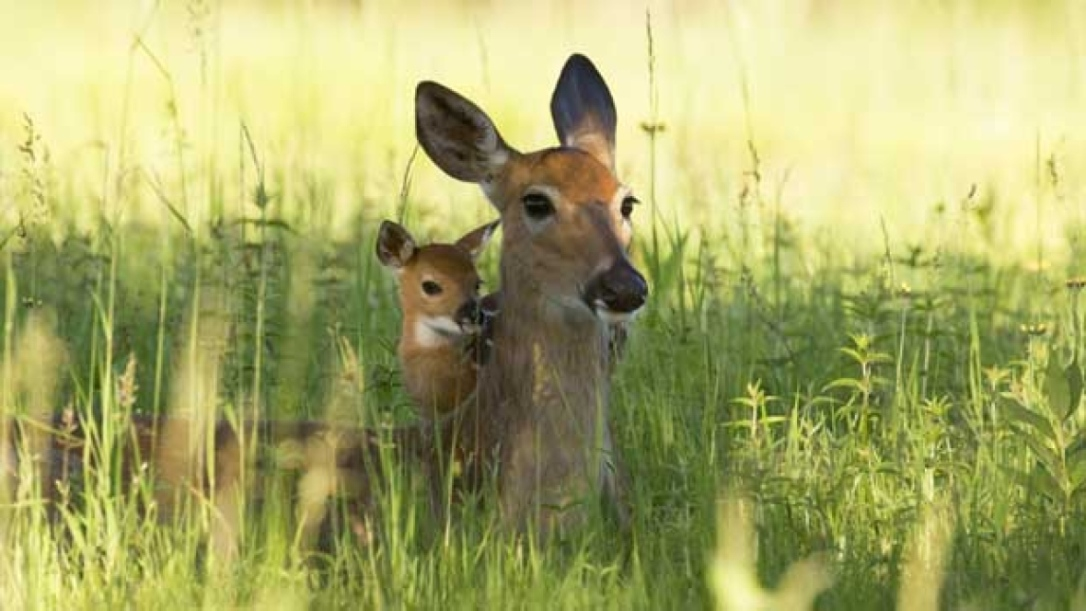 deer with baby