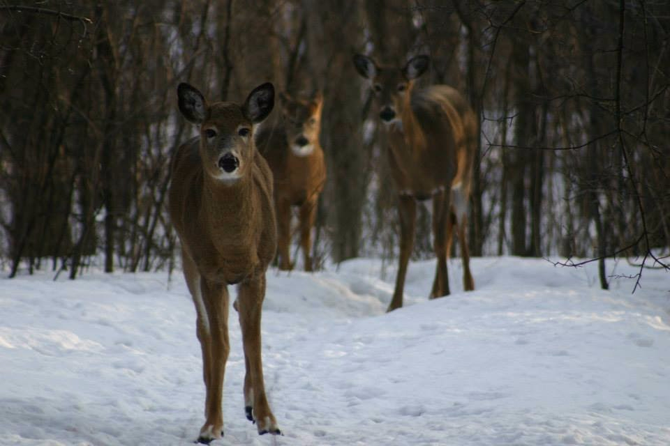 There are presently 50-60 whitetail deer that call these woods home.